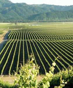 Strip Block Vineyard