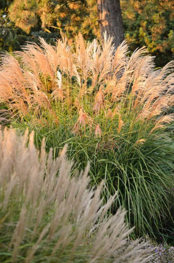 17 best images about garden garden everywhere on pinterest for Ornamental grasses with plumes