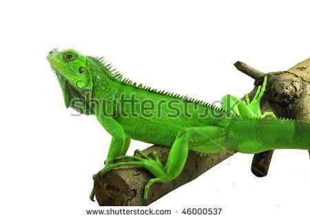 Green iguana on a branch