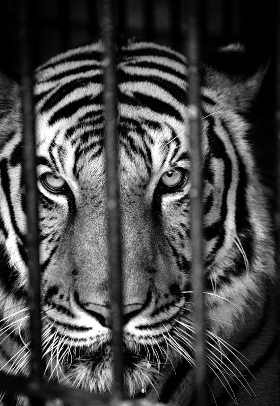 Tiger, Phnom Tamao Wildlife Rescue Center
