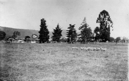 Sheep at Fassifern Homestead, ca. 1900  Sheridan
