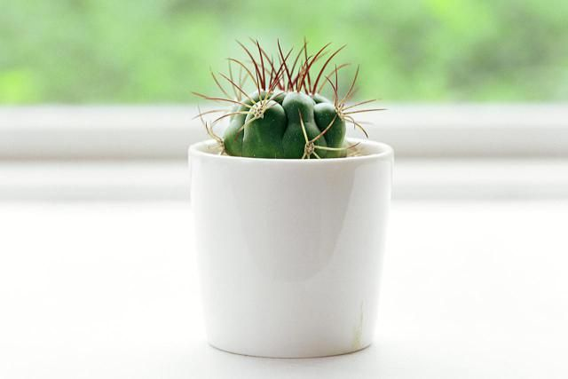 Learn how to grow great and healthy cactus plants indoors, including tips for both desert cacti and the forest cacti.