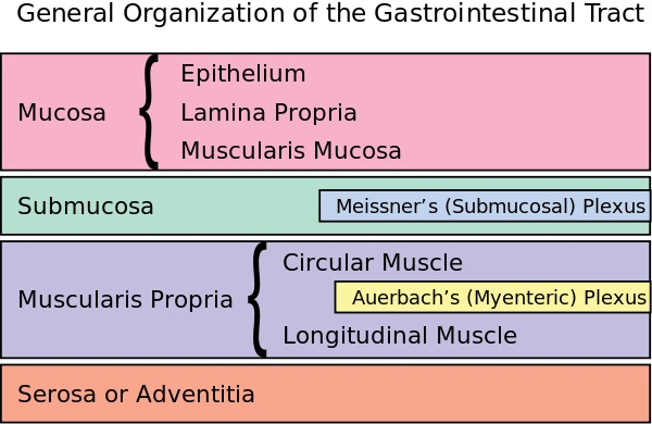 Enteric nervous system - Wikipedia, the free encyclopedia