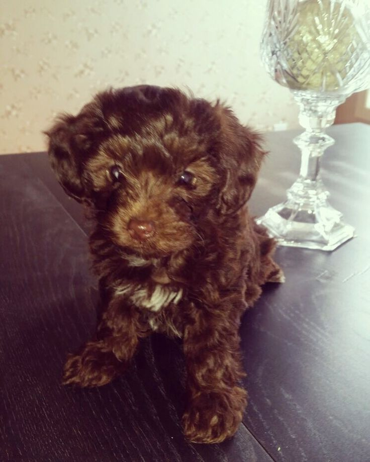 Reese the Maltipoo Puppy  Instagram: @reese_thee_maltese  Chocolate Brown Maltipoo
