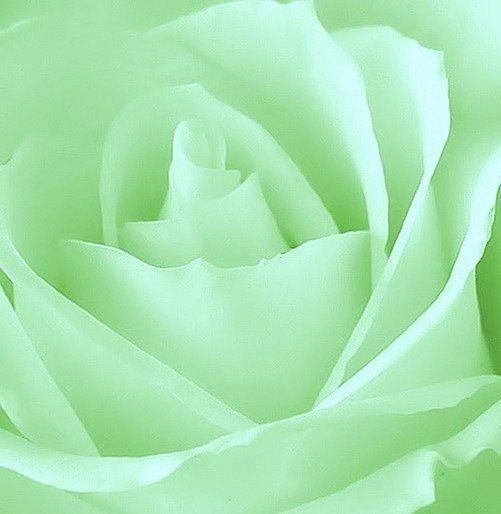 Light Green Rose Close-up | Mint and Celadon | Pinterest ...