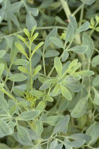 LA MAGIA DE LA RUDA; LIMPIA TU ENERGÍA: mucho más que una planta  A la ruda se le conoce como la hierba de los múltiples usos y se transmite a través de los siglos su imp