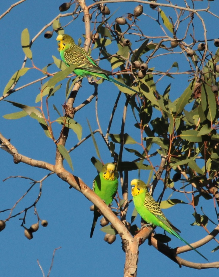 Budgies socialising in the gum trees.