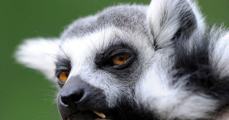 Lêmure exibe olhar 'entediado' em zoológico na Alemanha