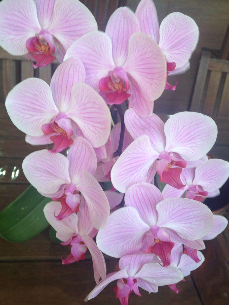 Orquídea Phalaenopsis - floração 2014.