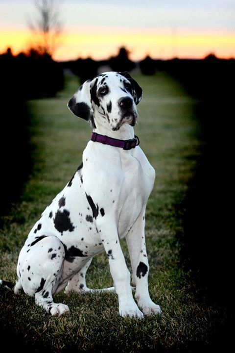 New   A community of Great Dane lovers!