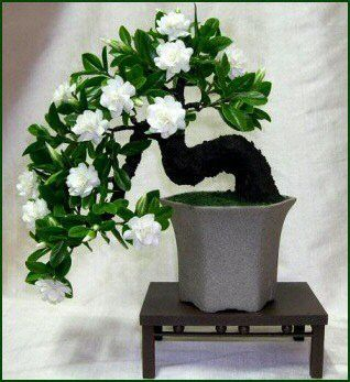100 Gardenia Seeds (Cape Jasmine )-DIY Home Garden Potted Bonsai, amazing  smell