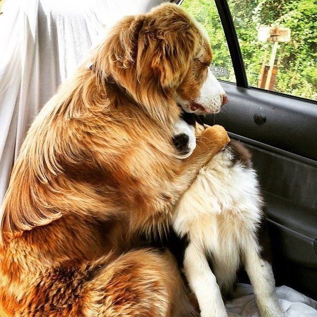 Or like this A+ friend comforting his pal on the way to the vet. | 23 Dog Best Friends Who Love Each Other A Lot
