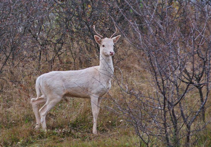 Albino deer very rare roebuck white stag hart - albinism albinismul animals wildlife in Romania