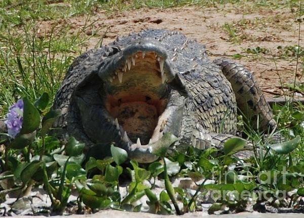 Hungry crocodile on the Nile River.
