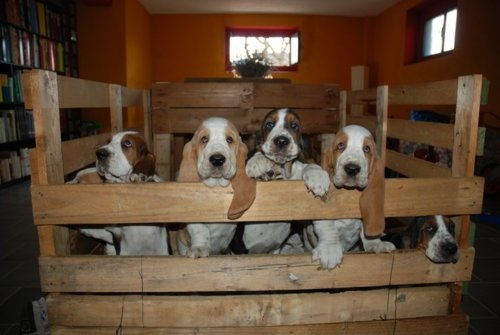 How adorable....bassets at the corral :-)Bassets And, Adorable Basset, Basset Galore, Bassett Hound, Bassetthound, Beautiful Hound, Basset Hound, Basset And, Adorablebasset