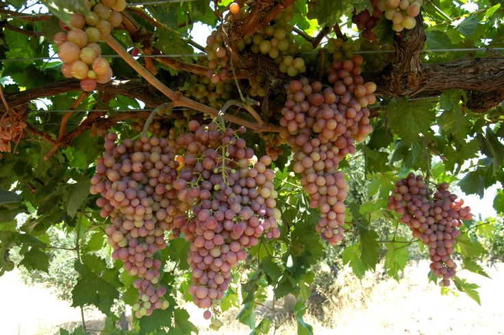 Local vineyards of Hatziemannouil local wines. #Kos