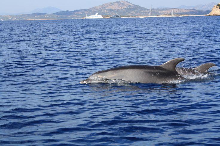 Dolphins, Sardinia