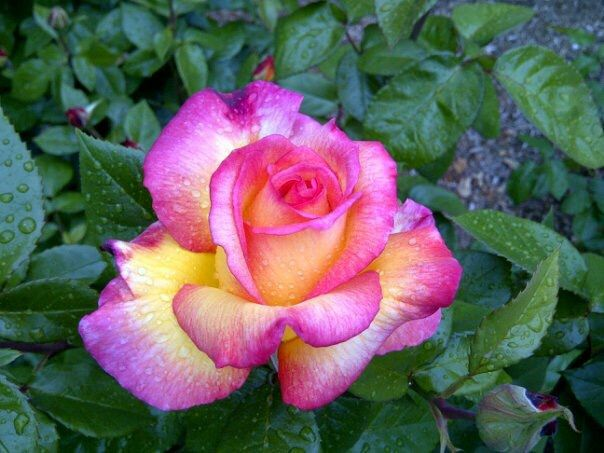 57 best Colourful roses images on Pinterest | Colorful roses ...