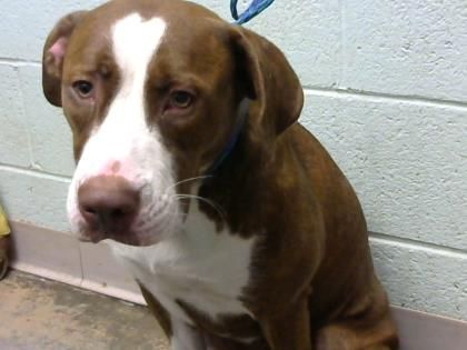 04/25/2017 SUPER URGENT ADOPT YOUNG SAGE - TO BE DESTROYED - SUCH POTENTIAL IN THIS GIRL, BUT NEEDS A HERO! Sage, a lovely 2 year old Terrier / American Pit Bull Mix available for adoption. Breed: Terrier, American Pit Bull / Mix Age: 2y Color: Brown / White, Not spayed, Size: Medium Dekalb County Animal Shelter DECATUR GA