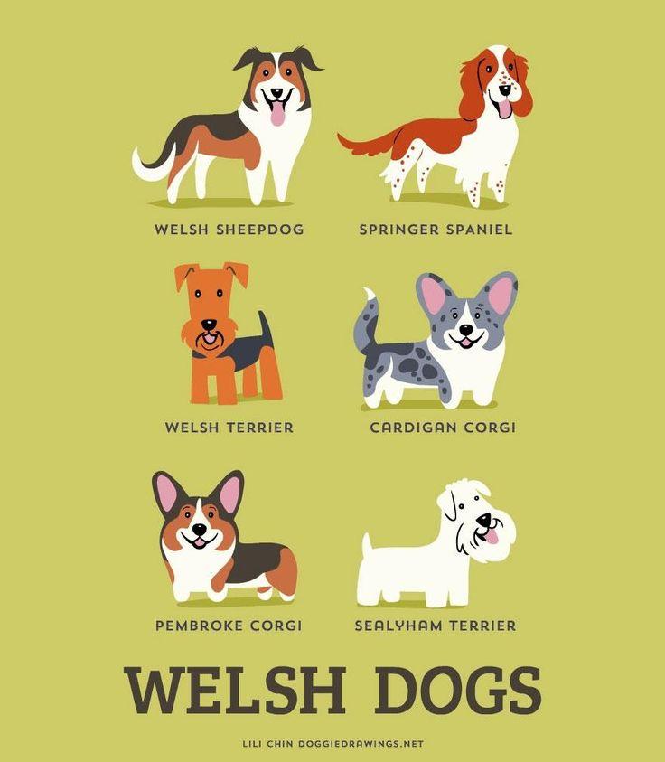 Pastor galês, Springer spaniel inglês, Welsh terrier ou Terrier galês, Welsh corgi cardigan, Welsh corgi pembroke e Sealyham terrier são raças GALESAS