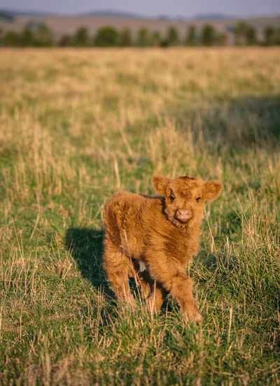 The cutest calf we have met to date! Australian Country magazine, photography Kim Selby.