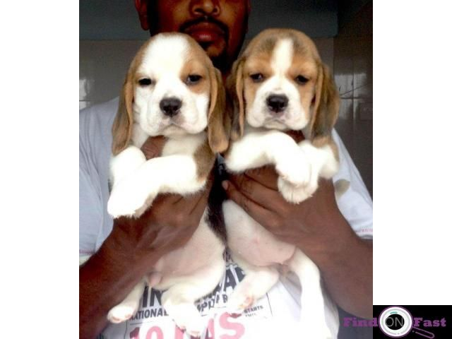 Beagle Puppy In Delhi Beagle Price In Delhi Aarambhada Findonfast Free Classifieds In India Buy And Sell For Free Anywhere In In 2020 Beagle Puppy Beagle Puppies