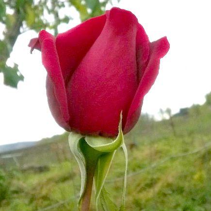 Rosas Mantenimiento de jardinería madrid