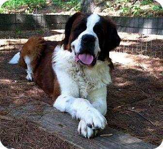 Lutherville, MD - St. Bernard. Meet Simon, a dog for adoption. http://www.adoptapet.com/pet/10546049-lutherville-maryland-st-bernard