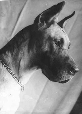 The Great Dane  is a giant dog with unique needs and considerations. Our aim is to provide the most comprehensive free information guide ...