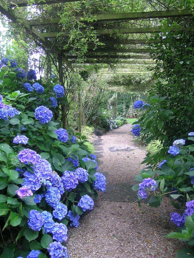 vines on a trellis with blue hydrangeas