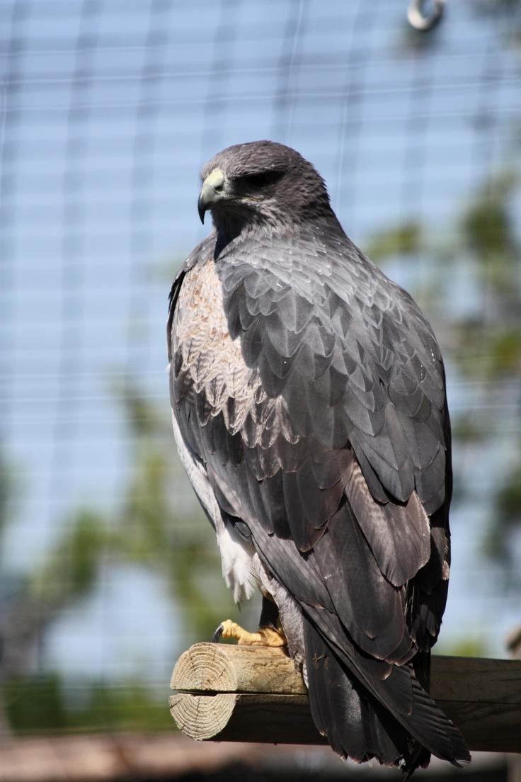 Geranoaetus melanoleucus/ Àliga Mora/Águila mora/ Black-chested Eagle-Buzzard// al Cim d'Àligues. Sant Feliu de Codines (Barcelona)