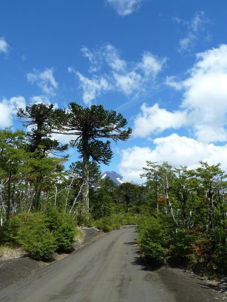 Conguillio, Chile. Araucaria trees.