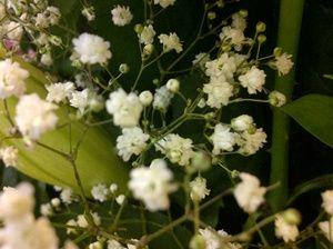 Bunga Baby Breath Putih