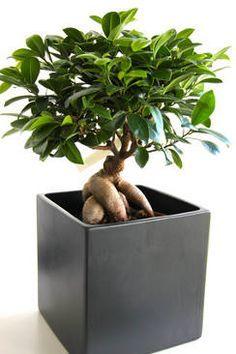 Ficus ginseng : taille, arrosage et conseil d'entretien
