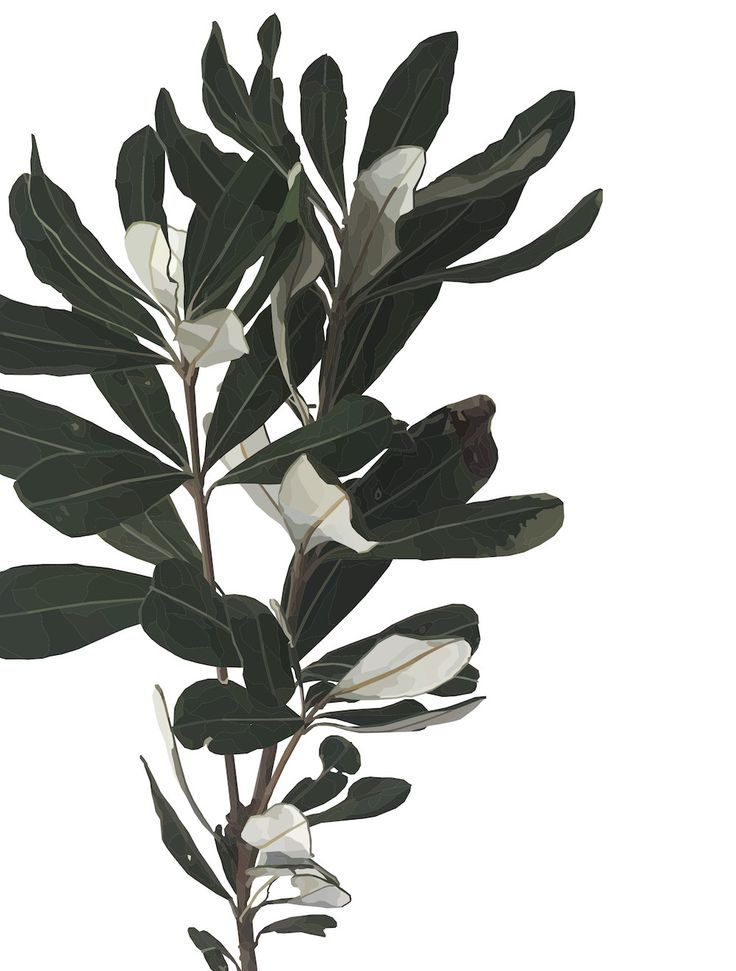 Banksia Leaves