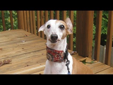 DIY Martingale Collar for greyhounds, whippets, and Italian greyhounds.  Can't wait to try this for Cara!