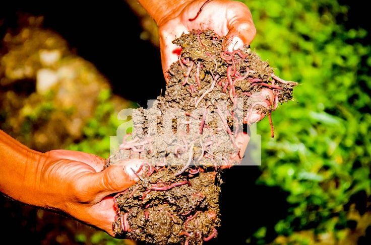 Lombricomposta, abono orgánico, humus de lombriz, lombricultura, Atoctli.