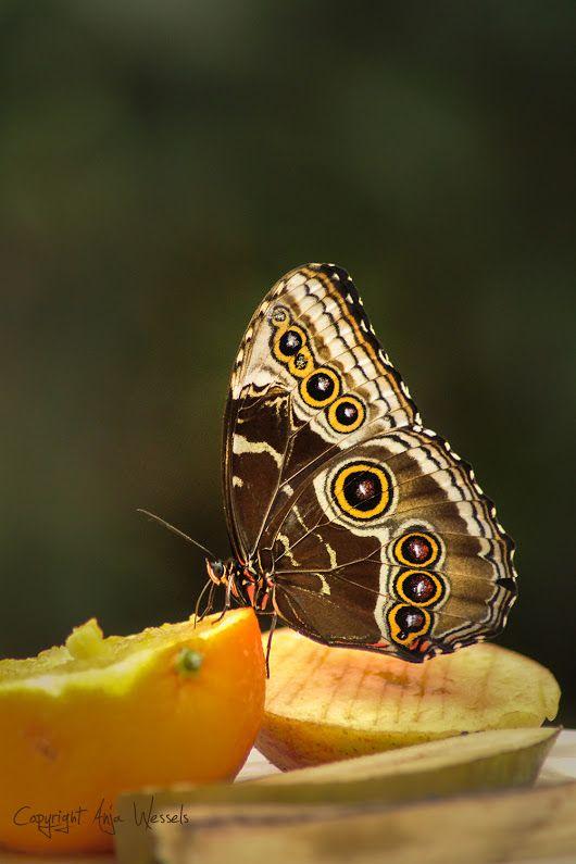 Blue Morpho Waarom blue (= blauw), tja dat zie je alleen als hij vliegt, of zijn vleugels open slaat. Why blue (blue), well you only see that when he ... - Anja Wessels Photography - Google+