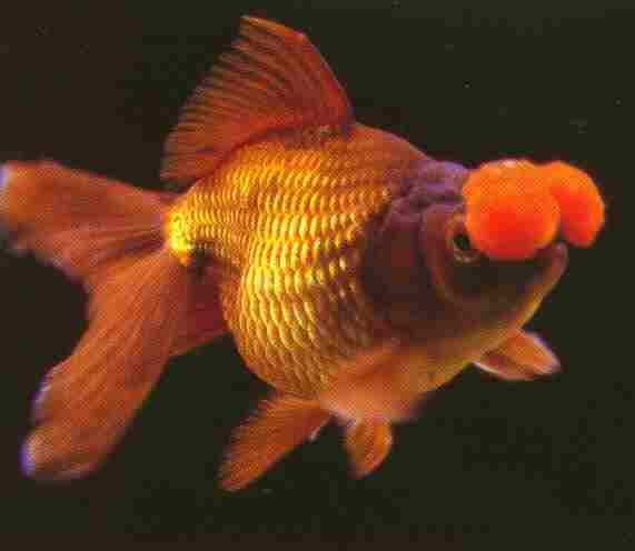Chocolate oranda with orange pom poms. | Fancy goldfish ...
