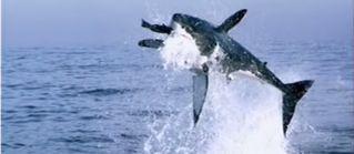 Ver Video: gran tiburón blanco a la caza