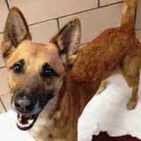 Fort Wayne, Indiana - German Shepherd Dog. Meet THUNDER, a for adoption. https://www.adoptapet.com/pet/20924092-fort-wayne-indiana-german-shepherd-dog