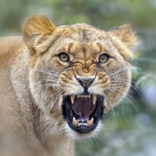Angry Lioness | Faces | Pinterest