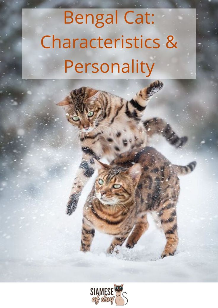 Bengal Cat Characteristics Personality Care Health