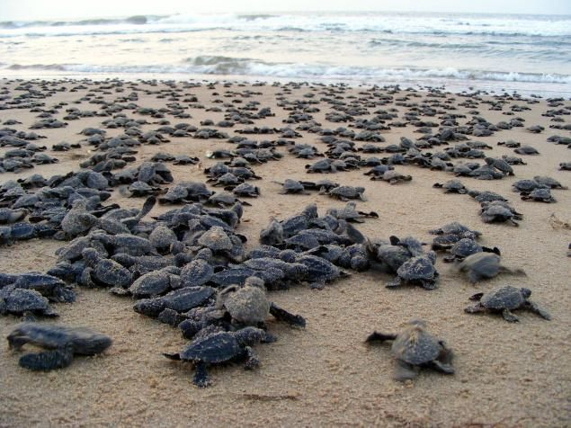 A Bale of Turtles: Oliver Ridley hatchlings heading to the sea in Ganjam district in Orissa, Bay of Bengal, India. via thehindu #India #Bay_of_Bengal #Oliver_Ridley_Turtle #thehindu