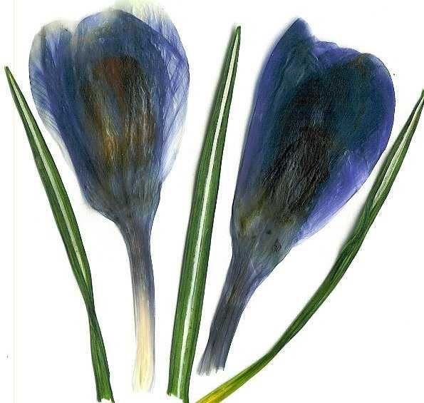 ...I'll remember when...: Press Spring, Flowers Cards, Crocus32902Jpg 595565, Αποξηραμενα Λουλουδια, Press Flowers, Spring Crocus, Λουλουδια Dry, Flower Cards, Dry Flowers