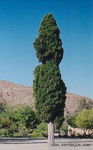 Doğum Tarihinize Göre Hangi Ağaçsınız - 26 Temmuz- 4 Ağustos : Selvi: (Sadakat) Güçlü, fiziksel olarak kaşlı, her ortama uyabilen, hayatla fazla uğraşmayan, hoşnut, iyimser, paraya meraklıdır Yalnızlıktan nefret eder. Kolay kolay tatmin edilemeyecek kadar tutkuludur. Ama sadıktır. Modu çabuk değişir. Kurallara boyun eğmez. Biraz da ukala ve ilgisizdir.