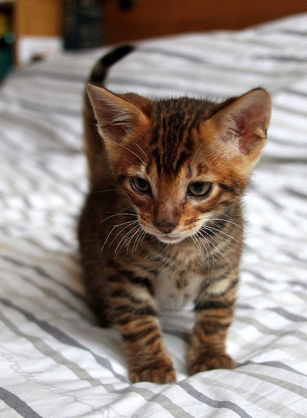 Queenanne Cats Availablity Of Bengal And Toyger Cats In Bromsgrove West Midlands Catcute Toyger Cat Bengal Cat Toyger Kitten