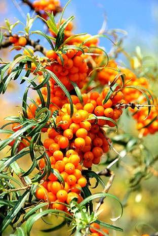 Pestovanie  | Rakytnik rašetliakový