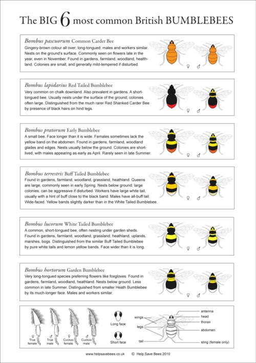 What was that? How to Identify Bumblebees