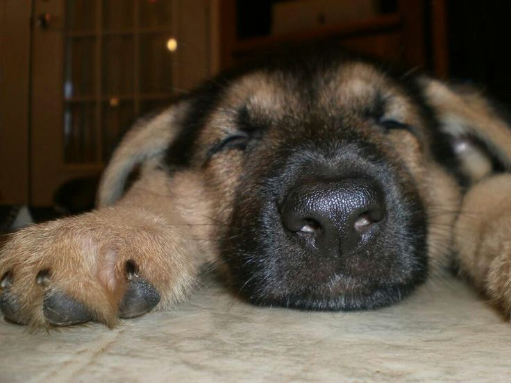 When you FINALLY get all of your holiday shopping done! Whew! #adorable #puppy #cute #germanshepherd